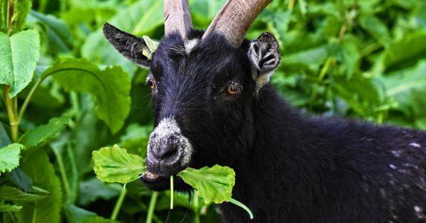 geit die een blaadje eet